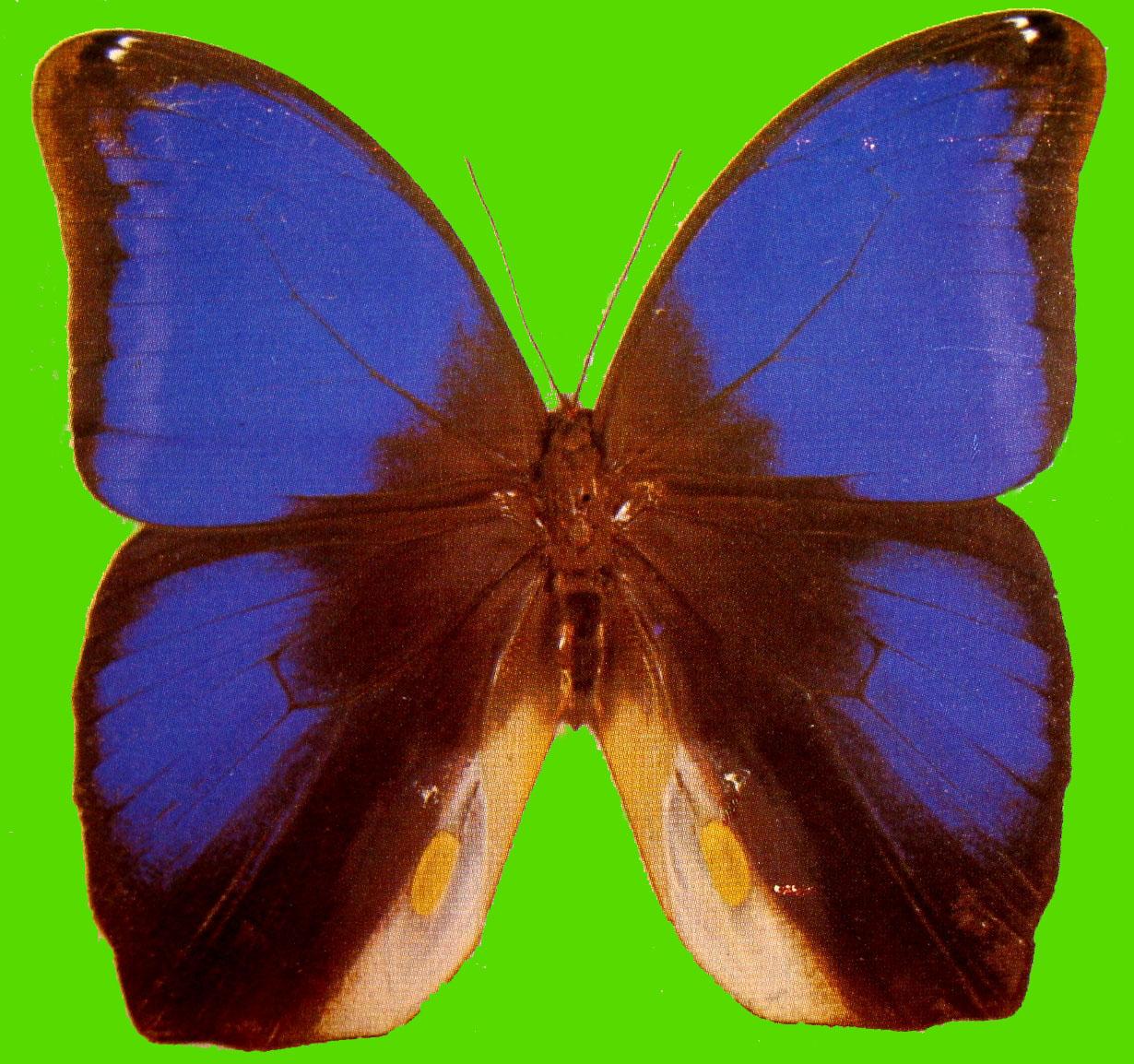 Eryphanis polyxena - Duree de vie papillon de nuit ...